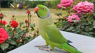 Beautiful Talking Indian Ringneck Parrot