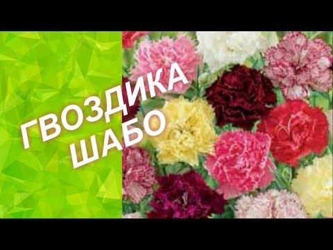 ГВОЗДИКА ШАБО /// ПОСЕВ и ПРАВИЛЬНЫЙ УХОД