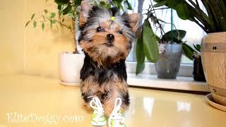 Мальчик йорк в новых ботинках, сапожках / продажа щенков йоркширского терьера