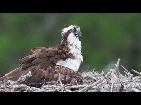 Osprey Fishing - An Osprey Family