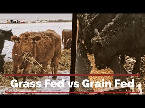Grain Finishing Steers