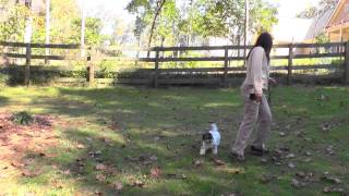 Puppy Training 1: Lilly Havanese, Loose-leash, Recall