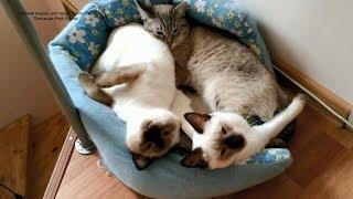 Как тайские котики не хотели вставать утром! Тайские кошки - это чудо! Funny Cats
