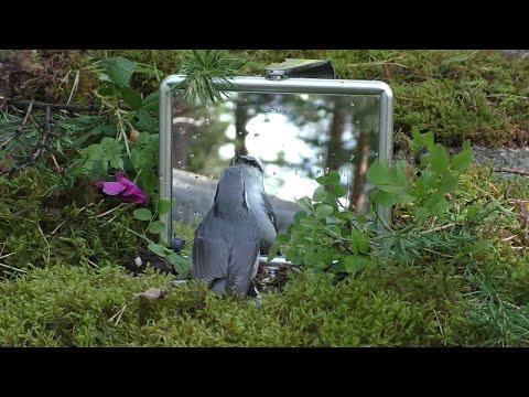 Nuthatch Sees Itself || ViralHog