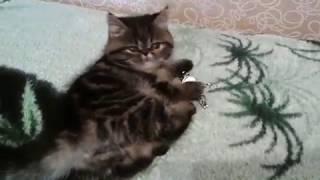 Экзотические котята