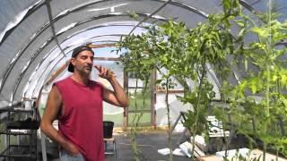 Aquaponic Tomatoes?