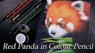 Red panda- Color pencil speed drawing