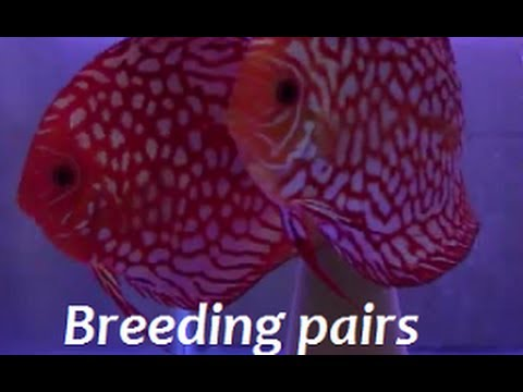 HOW TO FIND BREEDING PAIRS OF DISCUS With DISCUS HANS!!