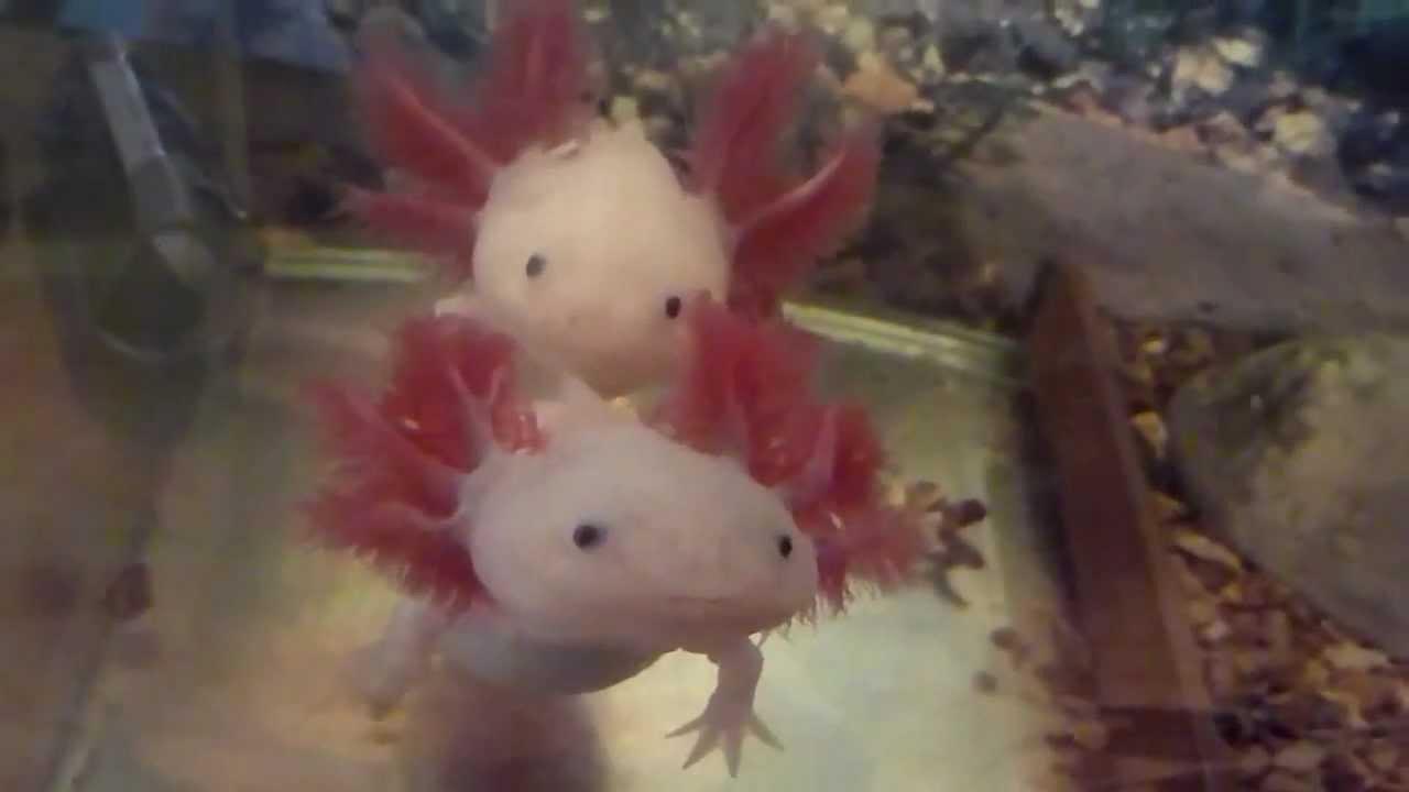 Axolotl ambystoma mexicanum hd youtube for Water lizard fish