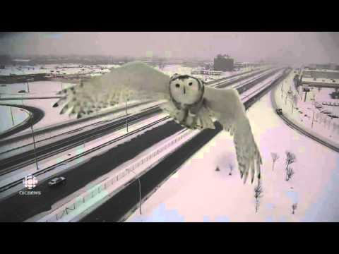 Web Trending News - Snowy Owl Photobombs Traffic Camera