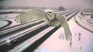 え?わざと?シロフクロウ先輩のかっこいいお姿が高速道路の監視カメラに記録されていたっす!