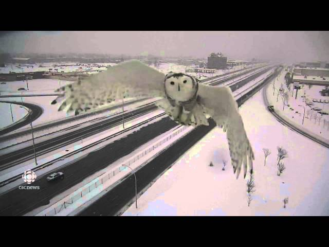 Snowy owl spotted soaring by Montreal traffic camera   Montr 1