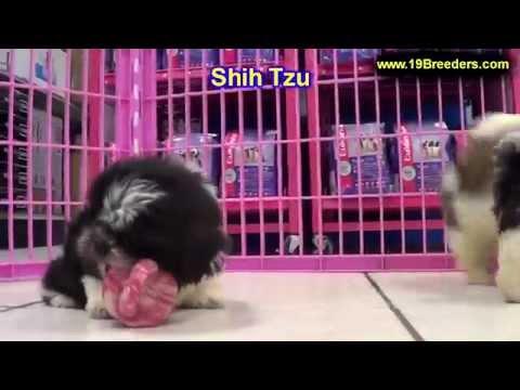 Shih Tzu, Puppies, For, Sale, In, Billings, Montana, MT, Missoula, Great  Falls, Bozeman