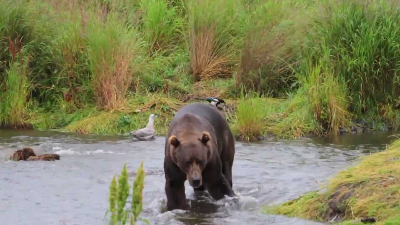 Kodiak Brown Bears Fishing For Pink Salmon Near Larsen Bay