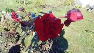 Закончили с гусями. Розы после морозов.