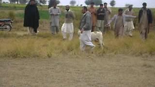 pakistan bull dog choudary taleb from gujar khan bewal 28 07 2012
