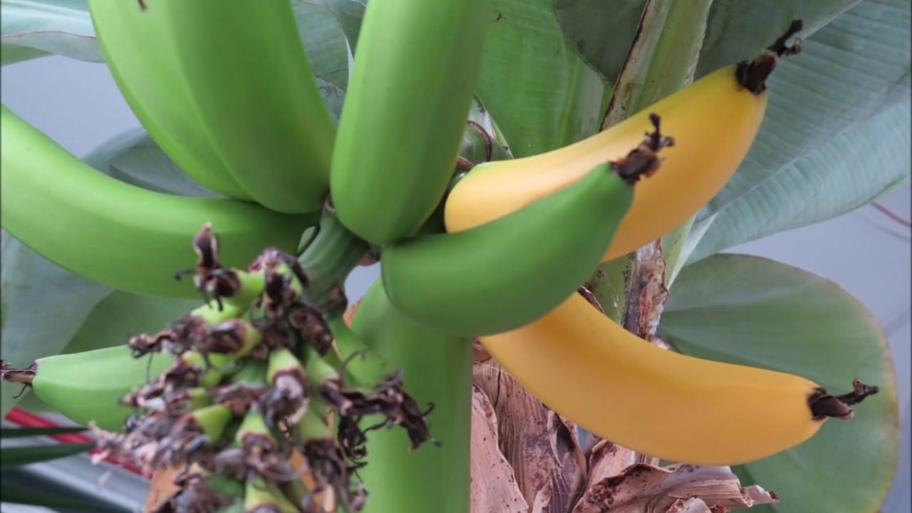 Pianta Di Banana Foto coltivare il banano in vaso: con bio aksxter® fruttifica!