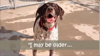Meet Goliath A Pointer German Shorthaired Currently Available For Adoption At Petango.com! 8/15/201