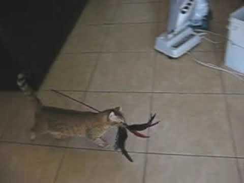 king puma cat