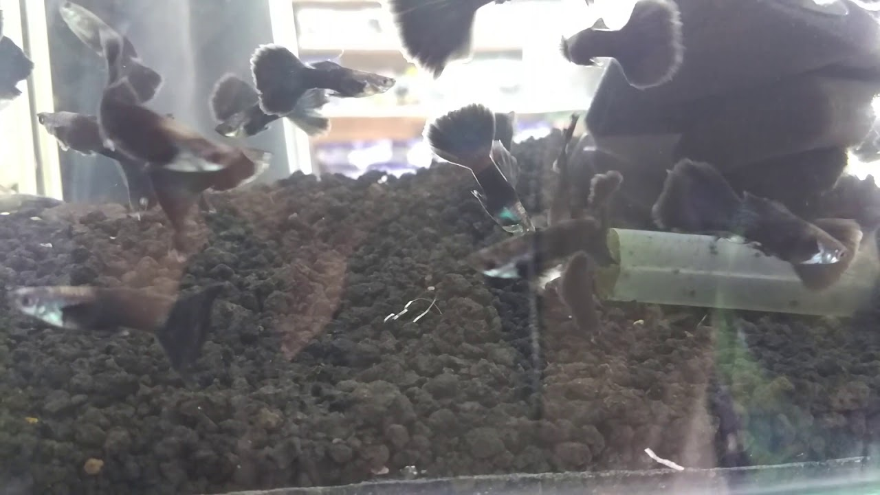 Ikan guppy black moscow - Black moscow guppy fish - YouTube