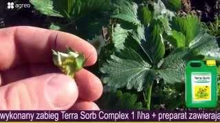 Wiosenne przymrozki na plantacjach truskawek