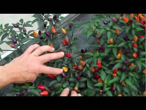 uk availability 423bf 08176 Seed of Fairy Lights, a spice-type chilli
