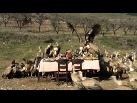 Geier fallen über Festtafel her
