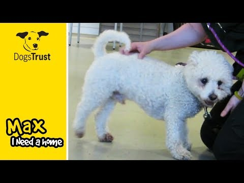 Max is a Clever, Active Bichon Frise, Looking for a Quiet Home! | Dogs Trust Manchester