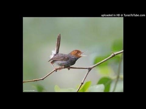 Download Suara Kicau Burung Prenjak