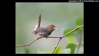 Gambar cover Download Suara Kicau Burung Prenjak