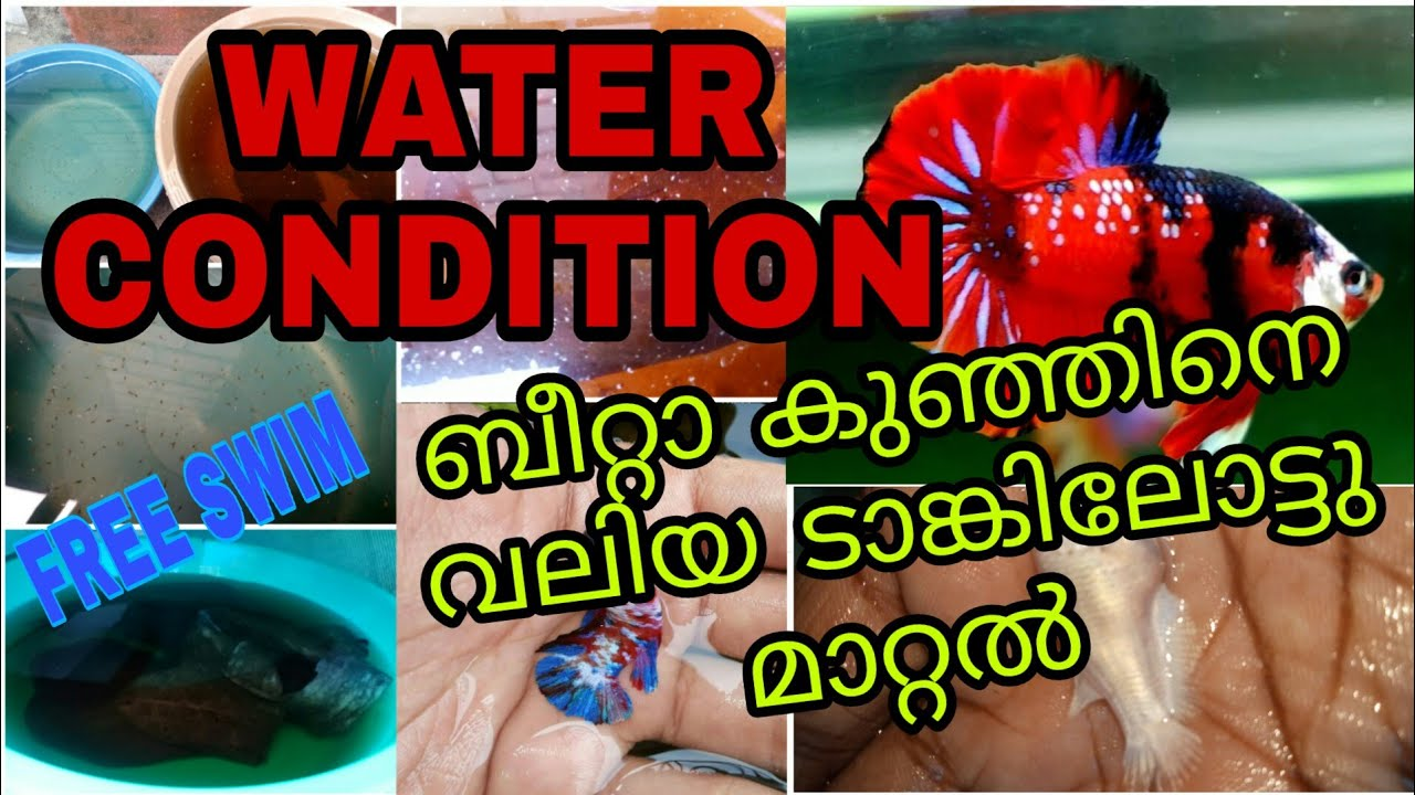 Bettafish water condition|ചെറിയ കുഞ്ഞുങ്ങളെ വലിയ ടാങ്കിലോട്ടു മാറ്റാം|bettafishfries care malayalam