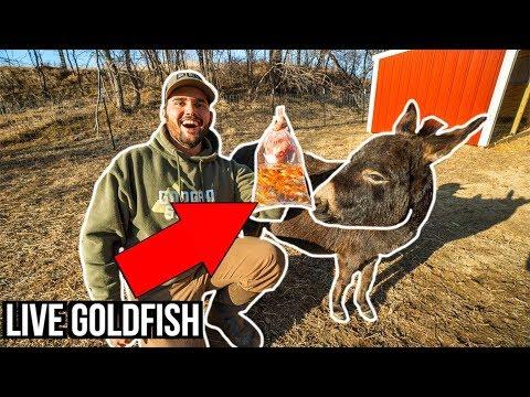 HAND-FEEDING My BACKYARD FARM Animals LIVE GOLDFISH!!! (ASMR)