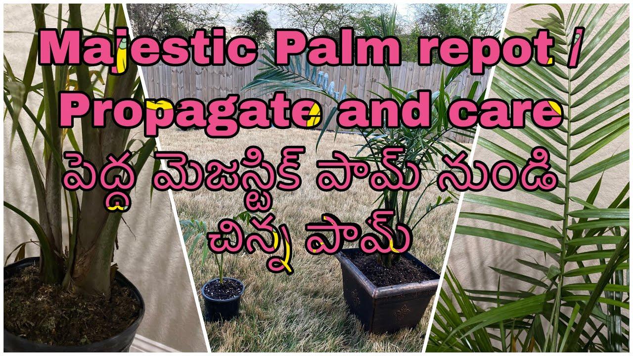 Palm Plants Repot Majestic Palm Tropical Plants Propagate And