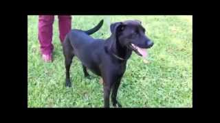 Presley Rescued Black Labrador Retriever