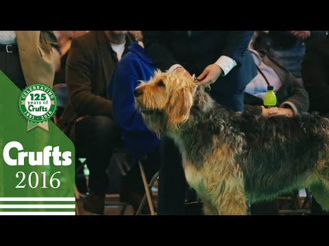 Otterhound - Exclusive Behind The Scenes with Best of Breed Winner | Crufts 2016