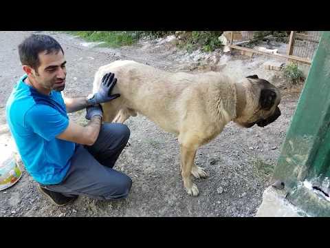 """Turkish Anatolian Shepherd Dog Kangal """"Bozar"""" ve  """"Yağmur""""  2. Kısım"""