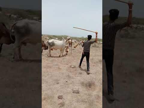 kakarej cow kayari