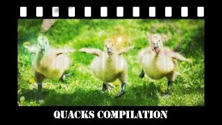 Rushing Ducks and Ducklings Compilation - Running in the 90s !