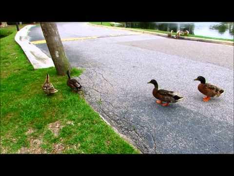 Gregarious Mallard & Domestic Ducks at Queens Grant in Palmetto Dunes