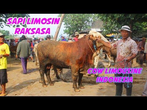 COW limousine Indonesia Market 2018 -  23 BILLION Sapi limousin pasar sapi jawa tengah