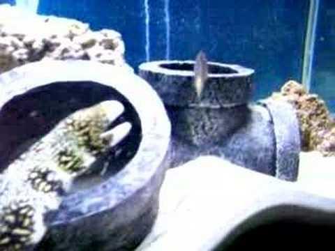 Snowflake Eel Eating Live Goldfish Youtube