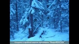 Охота с Русско-Европейской Лайкой на соболя