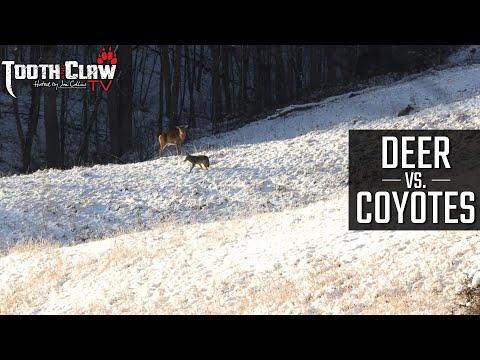 Deer vs Coyotes – Coyote Hunting