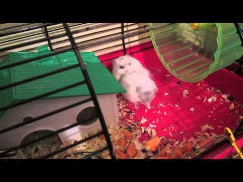 видео: Как хомячки спариваются,двое на одного в конце прилипли ха ха