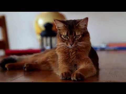 Сомали - кошки сомалийской породы