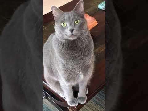 Our Korat cat-Horton Gerard and his 1st world problems
