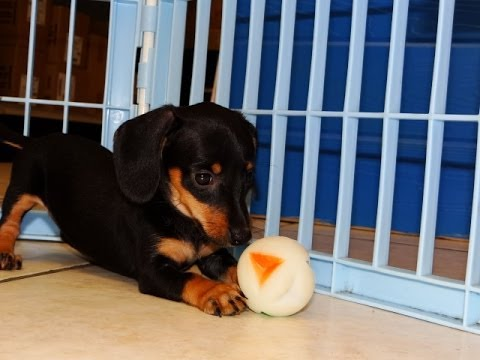 puppies for sale in delaware miniature dachshund puppies for sale in dover 4798