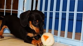 Miniature Dachshund, Puppies, For, Sale, In, Dover, Delaware, De, Long Neck, Ocean View, Woodside Ea
