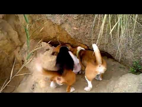 beagles en conejo