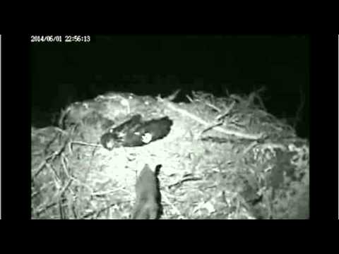 Fox Confronts Young Eagle Asleep in the Nest - 1056 PM - June 1 2014